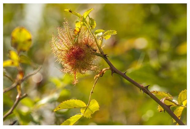 foto´s, Rozenmosgal, Bedeguaargal, Slaapappelgal (Diplolepis rosae), gal