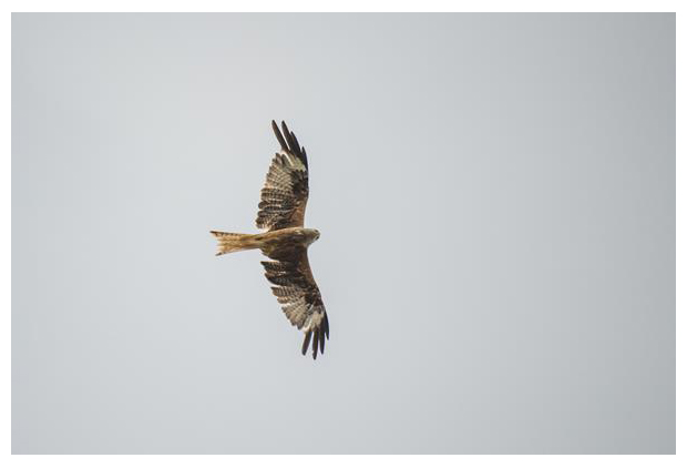 foto's, Rode wouw (Milvus milvus), vogel