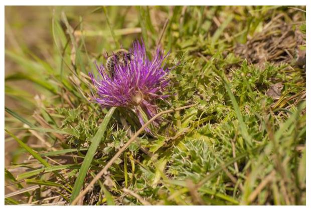 foto's, Aarddistel (Cirsium acaule), distel