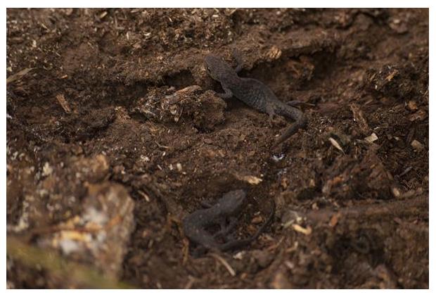 foto's, Alpenwatersalamander (Ichthyosaura alpestris), salamander