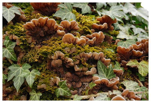 foto's, Viltig judasoor (Auricularia mesenterica), paddenstoel
