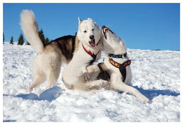 foto´s, hond, husky, husky´s, huskies