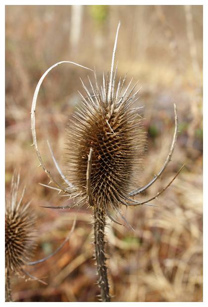 foto's, Grote kaardebol, Wilde (Dipsacus fullonum)