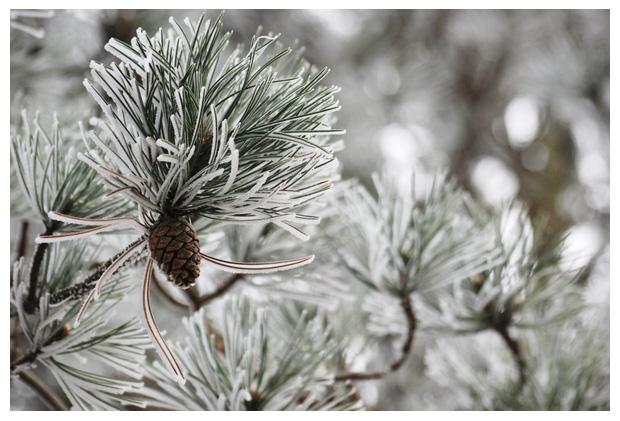 foto´s,  zwarte den (Pinus nigra)