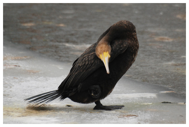 foto, Aalscholver (Phalacrocorax carbo), vogel