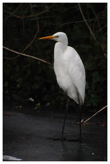foto's, Grote zilverreiger (Ardea alba) , vogel