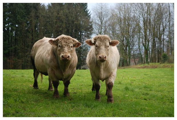 foto´s Charolais, koe, koeien