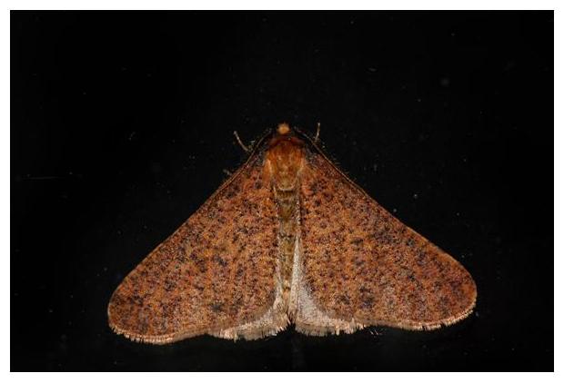 foto's, Grote wintervlinder (Erannis defoliaria), nachtvlinder