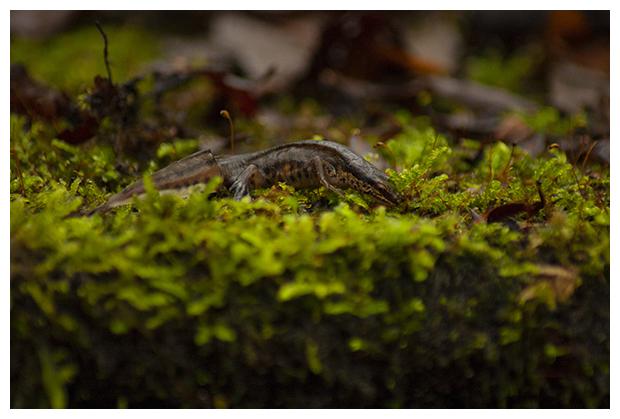 foto's, Vinpootsalamander, Zwemvoetsalamander of Draadstaartsalamander (Lissotriton helveticus), salamander