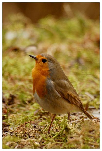 roodborst (erithacus rubecula), roodborsten, het roodborstje, roodborstjes, roodborstfoto´s, vogel, vogeltje, vogels, vogelfoto´s, vogelfotos, zangvogel, zangvogels, zangvogeltje, dier, dieren, dierenfoto´s, dierenfotos