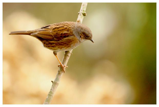 foto's, Heggenmus (Prunella modularis), vogel