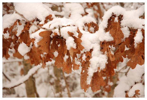 foto's, Zomereik (Quercus robur), eik