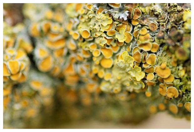 foto's, Groot dooiermos (Xanthoria parietina), korstmos