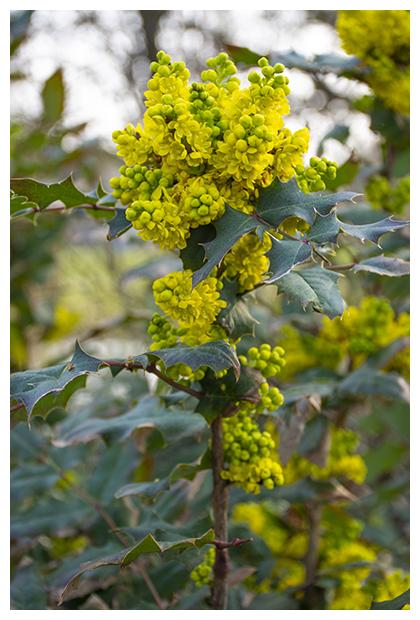 foto's, Mahonie of mahonia (Berberis aquifolium), heester