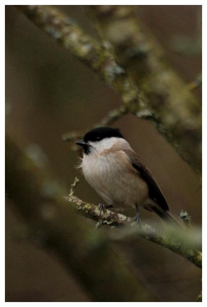 foto´s, Glanskop (Poecile palustris), mees, vogel