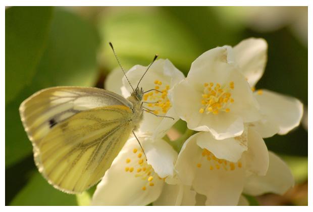 boerenjasmijn (philadelphus), tweezaadlobbige (cornales), hortensiafamilie (hydrangeaceae)