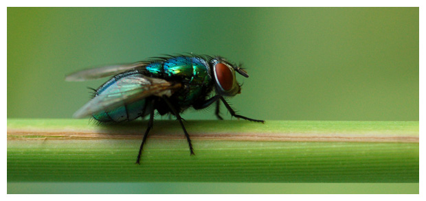 foto's, familie Bromvliegen of Vleesvlieg (Calliphoridae), vlieg