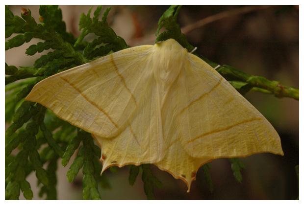 foto's, Vliervlinder (Ourapteryx sambucaria), nachtvlinder