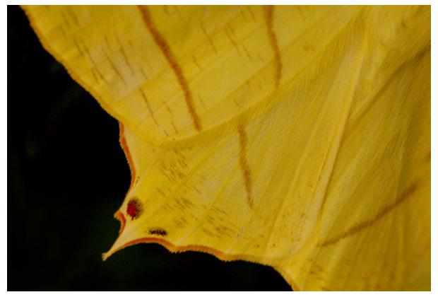 vliervlinder (qurapteryx sambucaria), vliervlinders, vliervlindertje, vliervlinderfoto´s, gele, geel, nachtvlinder, nachtvlinders, nachtvlindertje, nachtvlindertjes, nachtvlinderfoto´s, nachtvlinderfoto's, nachtvlinderfotos, vlinder, vlinders, vlindertje, vlindertjes, mot, motten, het motje, motjes, insect, insecten, insekt, insekten