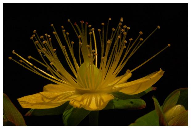 foto's, Hertshooi (Hypericum), plant