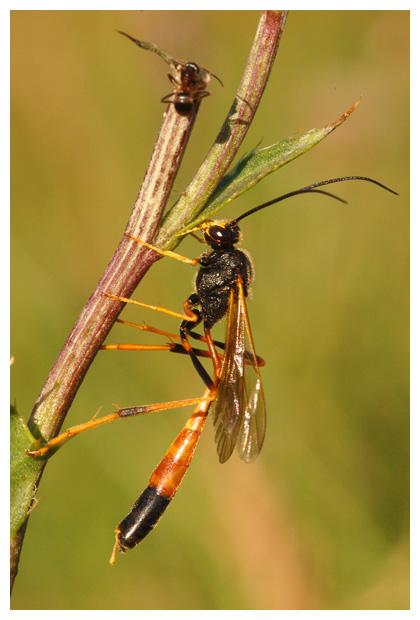 sluipwesp (netelia testacea), sluipwespen, sluipwespje, sluipwespjes, insect, insecten, insectenfoto´s,insectenfotos, insekt, insekten, insektenfoto´s, insektenfoto