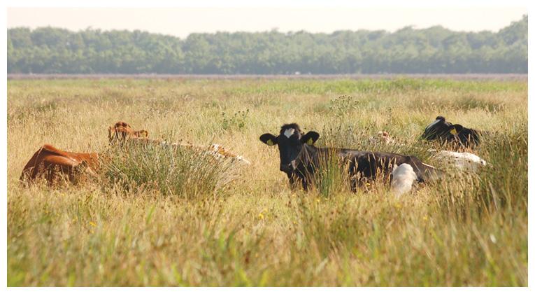 foto's, diverse soorten, verschillende koe, koeien, rund, runderen