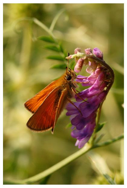 voederwikke, wikke, vlinderbloemenfamilie (fabaceae), paarsachtig violet,  bloem, bloemen, bloempje, bloempjes, bloemfoto´s, bloemfoto's, plant, planten, plantje, plantjes, plantenfoto´s, plantenfotos, vertakte ranken, maximaal twee meter, vlinderbloem, vlinderbloemen, dikkopje, dikkopjes