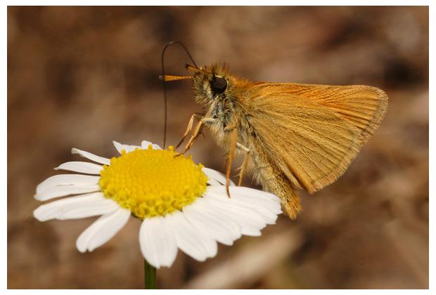 zwartsprietdikkopje (thymelicus lineola), zwartsprietdikkopjes, zwartsprietdikkopjevlinderfoto´s, zwartspriet dikkopje / dikkopjes, dikkop, vlinder, vlinders, vlindertje, vlindertjes, vlinderfotos, vlinderfoto´s, vlinderfoto's, dagvlinder, dagvlinders, dagvlinderfoto´s, dagvlinderfotos, insect, insecten, insekt, insekten