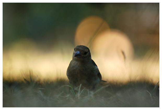 foto's, Vink (Fringilla coelebs), vogel