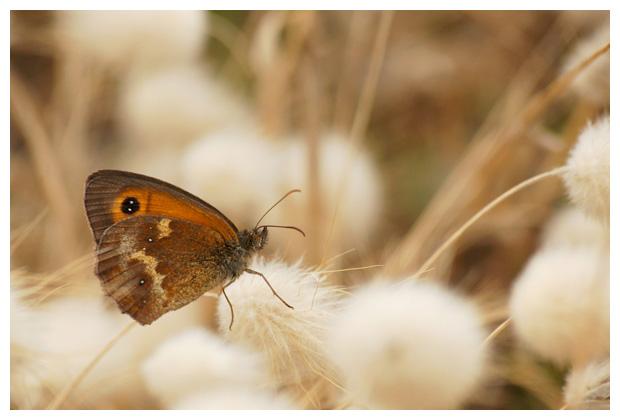 oranje zandoogje (pyronia tithonus), zandoog, zandoogjes, zandoogjefoto´s, vlinder, vlinders, vlindertje, vlindertjes, vlinderfotos, vlinderfoto´s, vlinderfoto's, dagvlinder, dagvlinders, dagvlinderfoto´s, dagvlinderfotos, insect, insecten, insekt, insekten