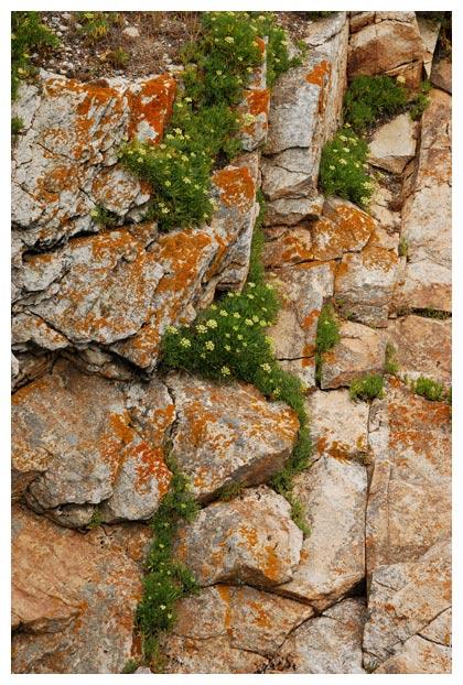 foto's, Zeevenkel of Zeekervel (Crithmum maritimum), plant