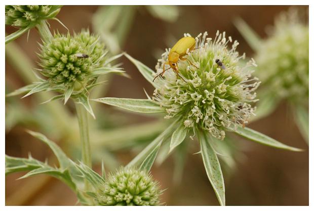foto's, diverse verschillende soorten Zwartlijven (Tenebrionidae), kever