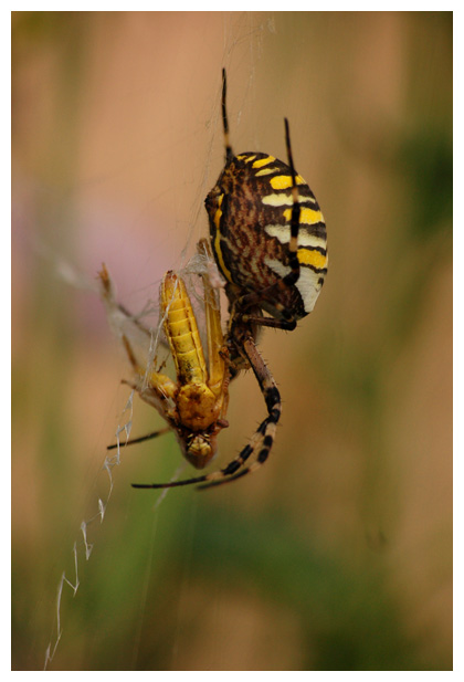 foto's, Tijgerspin, Wielwebspin of Wespspin (Argiope bruennichi), spin