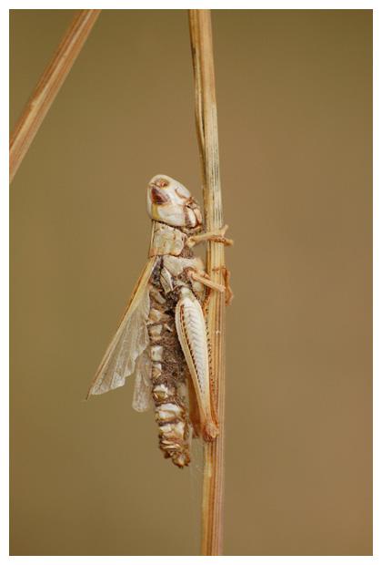 sprinkhaan, sprinkhaanfoto´s, sprinkhanen, schimmel (Entomophthora grylli)