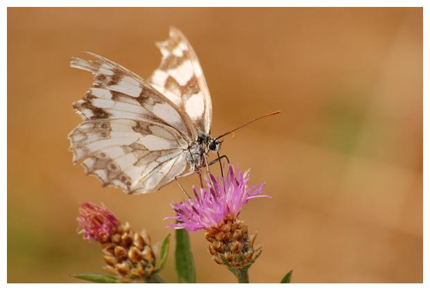 foto's, Dambordje (Melanargia galathea), vlinder