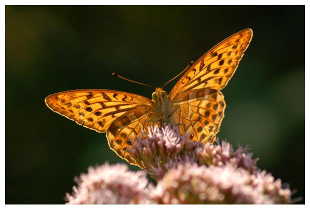 foto's, Keizersmantel (Argynnis paphia), vlinder