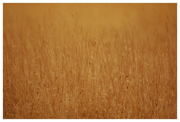 diverse soorten gras, grassen, grasje