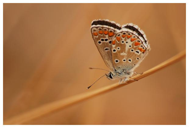 foto's, Bruin blauwtje (Aricia agestis), vlinder