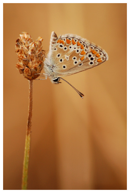 bruin blauwtje (aricia agestis) , blauwtjefoto´s, blauwtje, bruinblauwtje, bruin, bruine, bruintje, vlinder, vlinders, vlindertje, vlindertjes, vlinderfotos, vlinderfoto´s, vlinderfoto's, dagvlinder, dagvlinders, insect, insecten, insekt, insekten