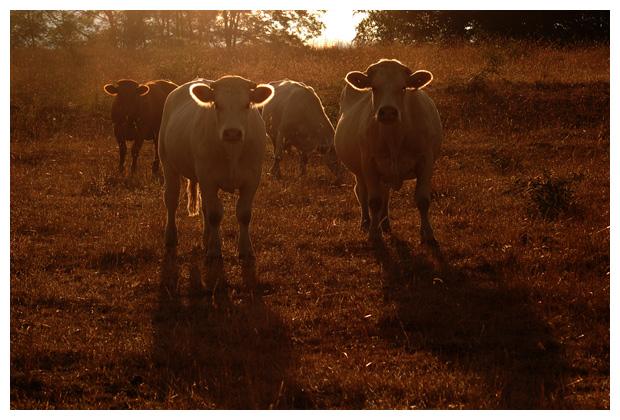 koe, koeien, koefoto´s, koefoto's, koeienfotos, koeienfoto´s, dier, dieren, dierenfotos, dierenfoto´s,  zoogdier, zoogdieren, plaatjes met de koe, melkkoe, melkvee, vee, zwart / wit, bruin / wit , witte