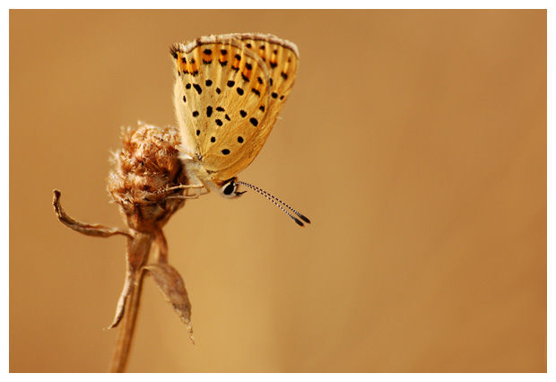 vlinder, vlinders, vlinderfoto´s, dagvlinder