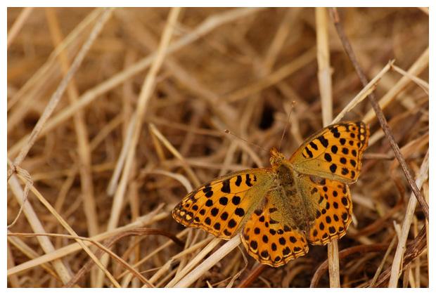 foto's, Kleine parelmoervlinder (Issoria lathonia), vlinder