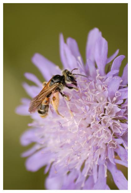 foto´s, Knautiabij (Andrena hattorfiana), bij