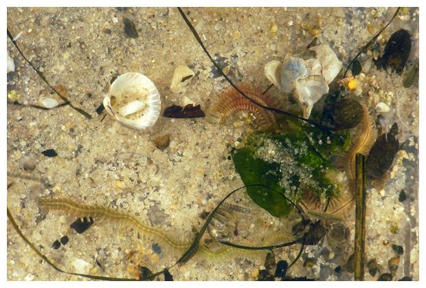 foto´s, Zager of Zeeduizendpoot (Alitta virens), worm zee