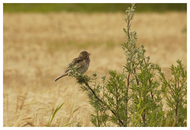 foto's, Grauwe gors (emberiza calandra), vogel