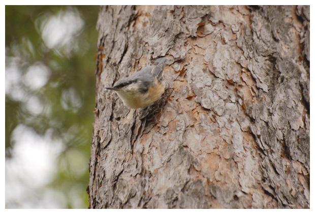 foto's, Boomklever (Sitta europaea), vogel