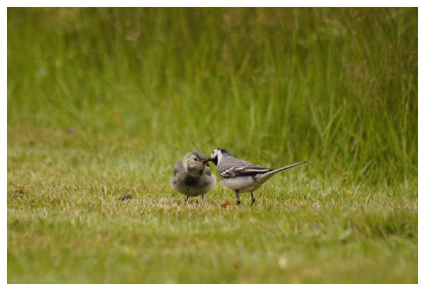 foto's, Witte kwikstaart (Motacilla alba), vogel
