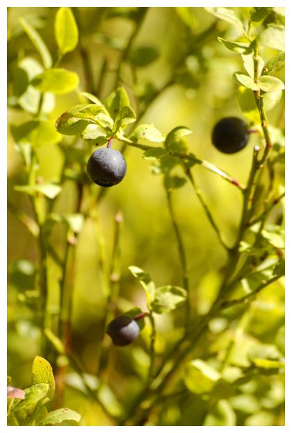 blauwe bosbes (vaccinium myrtillus)