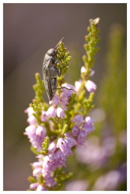 foto's, diverse verschillende soorten Prachtkevers (Buprestidae), kever
