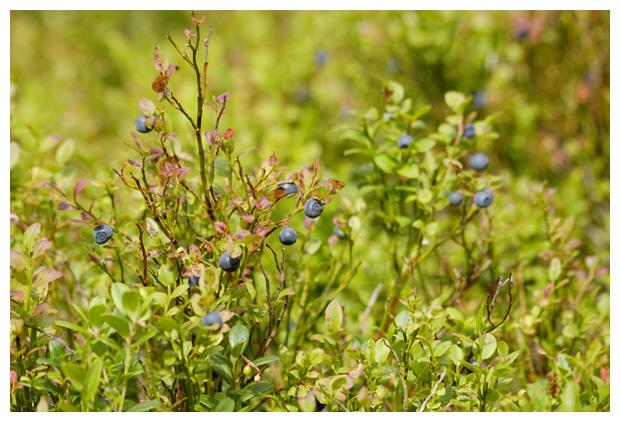 foto's, Blauwe bosbes (Vaccinium myrtillus)